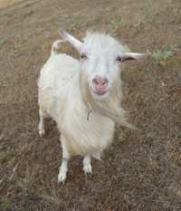 Smiling goat by http://commons.wikimedia.org/wiki/User:George_Chernilevsky. In public domain.